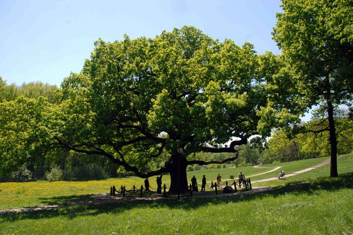 Конкурс!!! «Деревья — памятники живой природы»